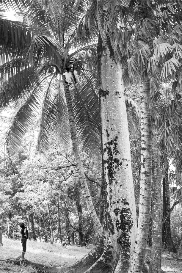 THE COCONUT CLIMB  (rio Dulce, Guatemala)  11 X 17 PRINT $55      20 X 30 PRINT $105  Look high up in the tree and you'll see A YOUNG BOY climbing A TALL COCONUT TREE AS HIS FRIEND WATCHES FROM BELOW.  SHORTLY AFTER THIS, THEY POUNDED THE COCONUT AGAINST THE CONCRETE, CRACKED IT OPEN AND POURED the SWEET WATER INTO THEIR MOUTHS and passed it around to be shared with their friends.