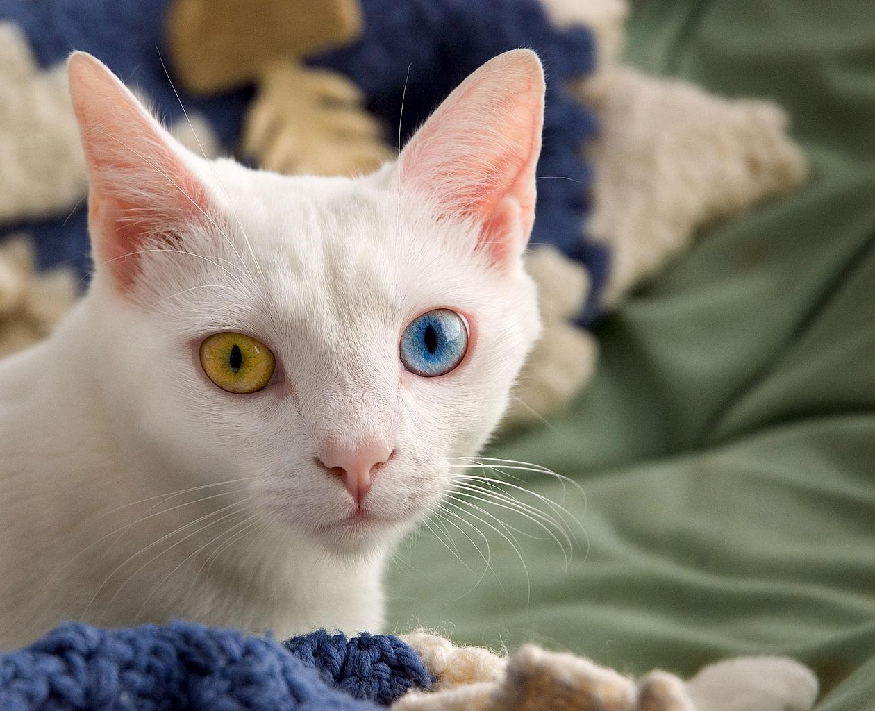 1260px-June_odd-eyed-cat.jpg
