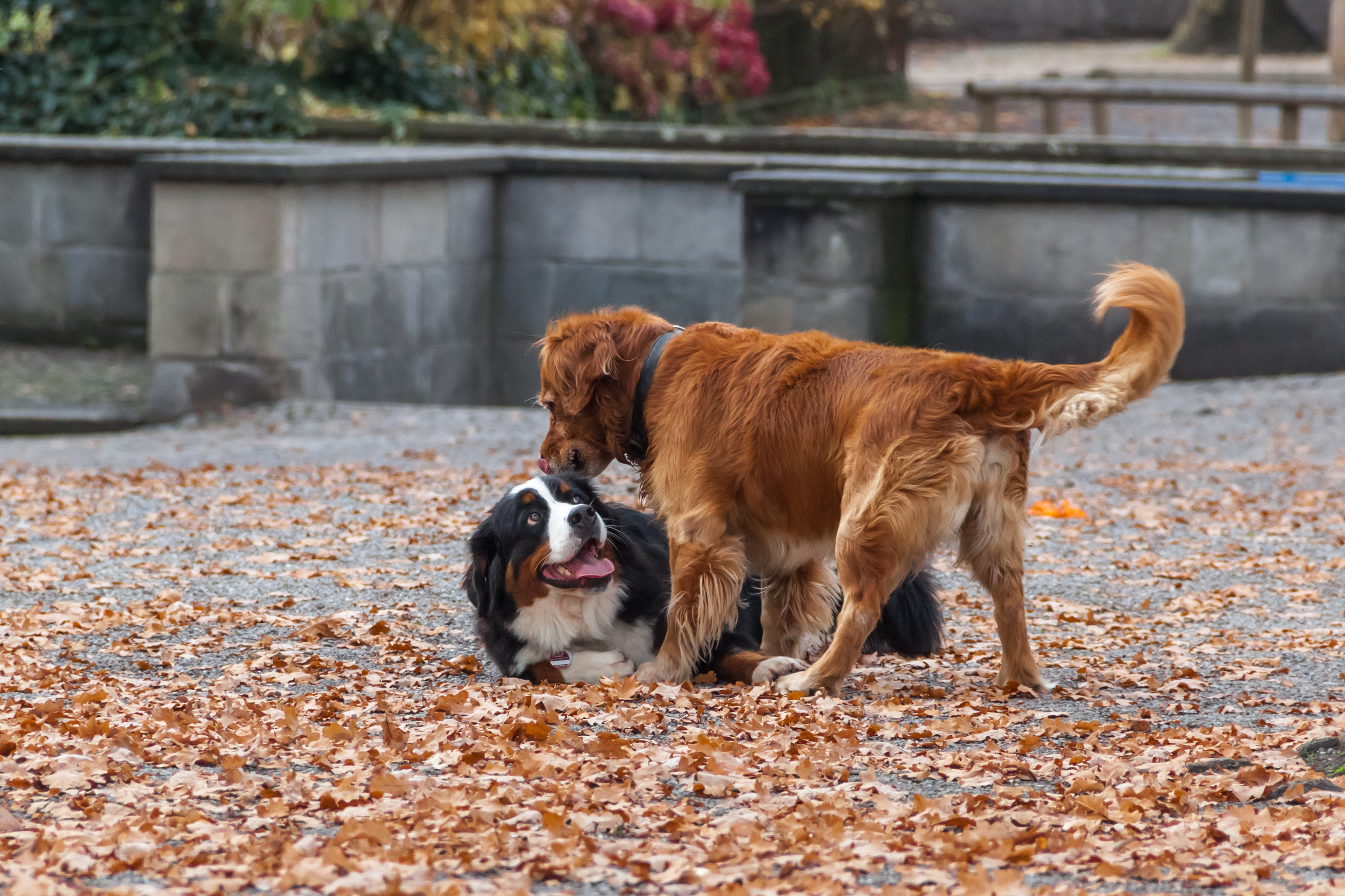Playing_dogs_in_Lindenhof.JPG