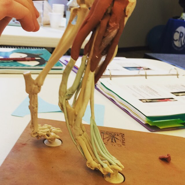 Reviewing those hindlimb muscles so I can show you on your dog 🐾🐾 , only 2 more days in Florida😎