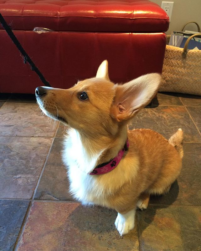 Welcome Luna to Millgrovevet!🐾🐶 #corgi #puppy