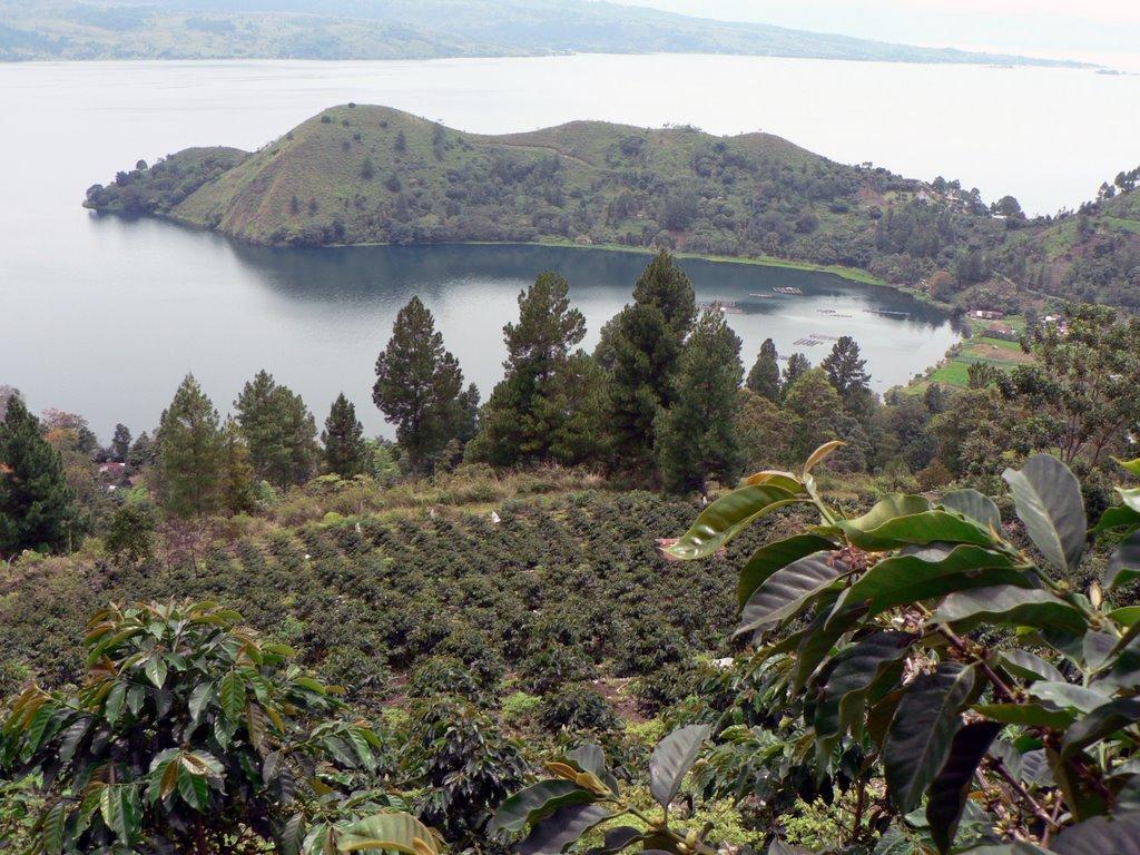 Usda Organic Fair Trade Coffee - Mandheling Sipangan Bolon Sumatra - Coffee Field