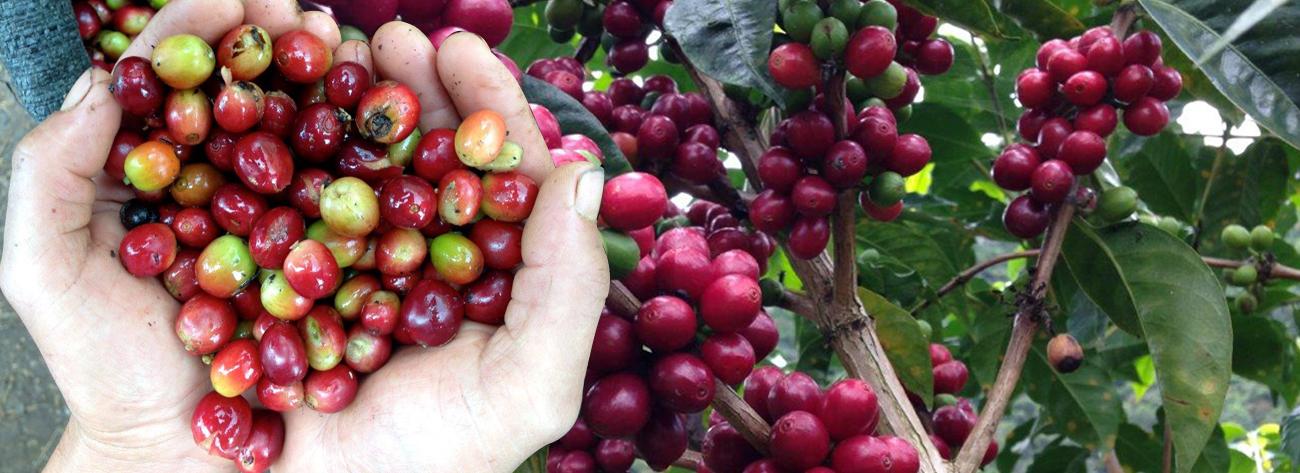 Usda Organic Fair Trade Coffee - Mandheling Sipangan Bolon Sumatra - Cherries