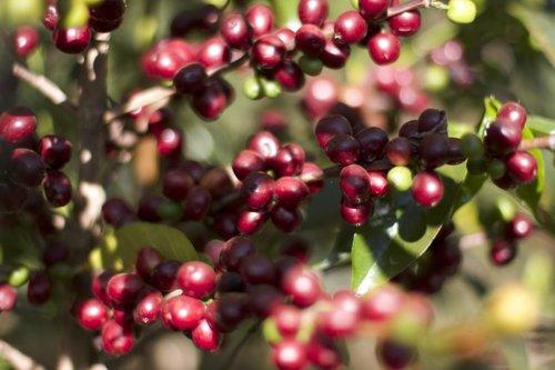 Usda Organic Fair Trade Coffee - DAMA Yirgacheffe Ethiopia - Cherries