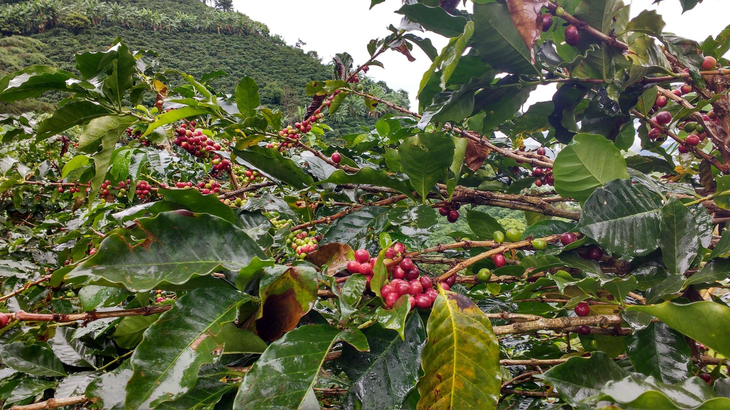 Usda Organic Coffee - AGPROCEM Colombia - Tree of Cherry