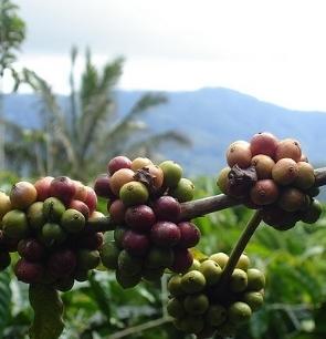 Usda Organic Fair Trade -Mandheling Royal Select Swiss Water Process Sumatra - Cherries