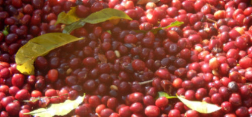Usda Organic Fair Trade - WORKA Yirgacheffe Ethiopia - Cherries