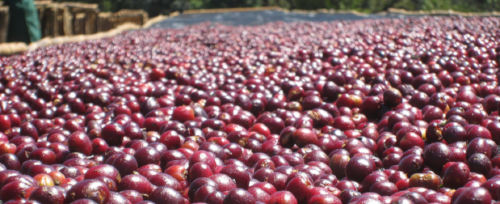 Usda Organic Fair Trade - WORKA Yirgacheffe Ethiopia - Drying of Cherries