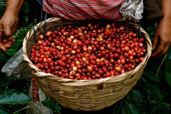 Usda Organic Fair Trade Coffee - Ethiopia Banko Gotiti - Basket of Cherry