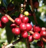 Usda Organic Fair Trade Coffee - Guatemala Huehuetenango Adiesto - Cherry