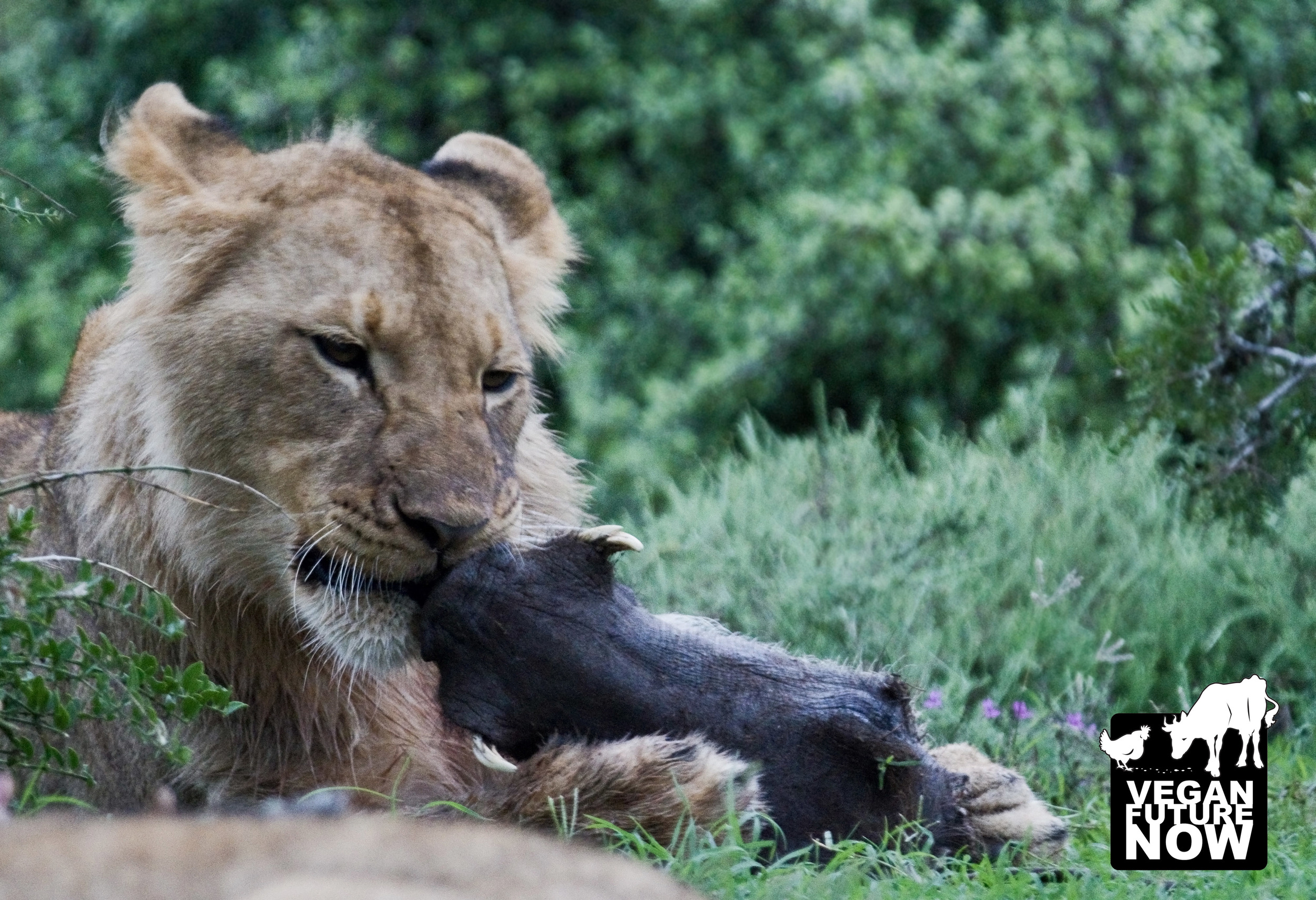 Does this image of a lion eating a warthog's face cause you to salivate? No? That's because you are not a lion!