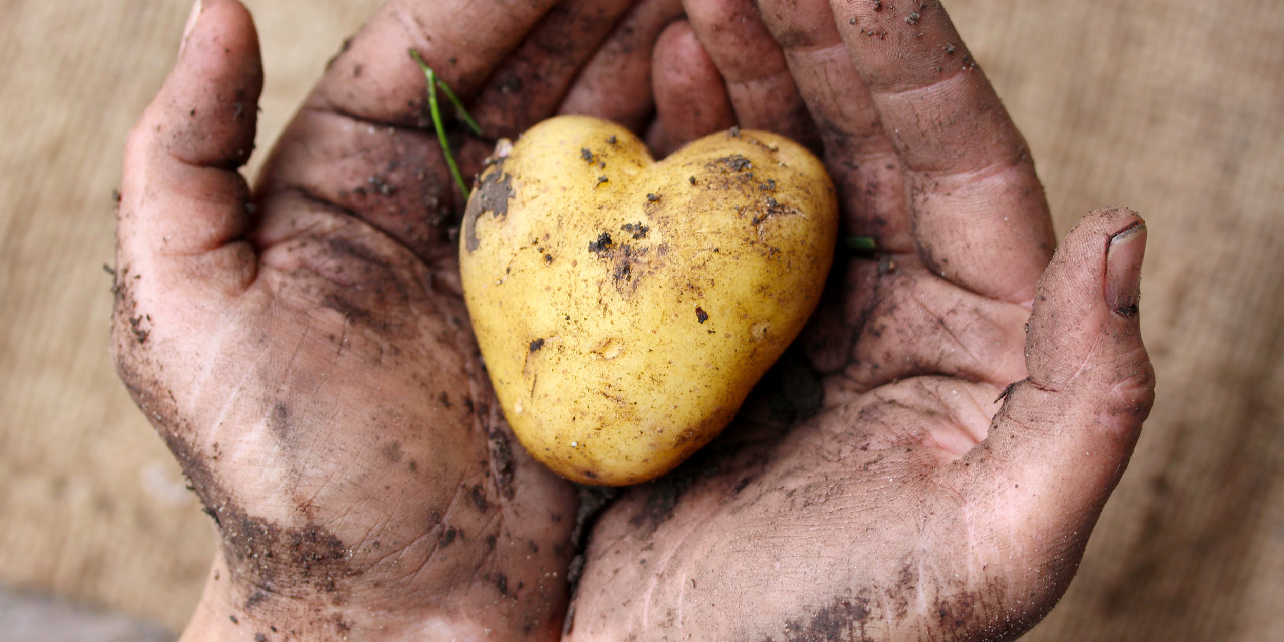 The prodigious potato, along with other starchy root vegetables, may have been the key to the rapid growth of the human brain, leading to greater cognitive function and eventually, the invention of Sudoku.