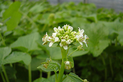 Wasabi flowers make great floral garnishes and tea. They are completely edible. Plant starts will flower in the spring.