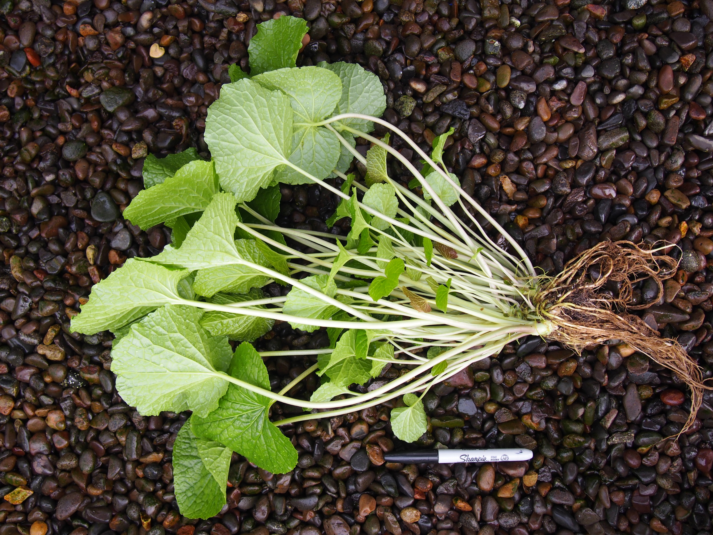 Plantlet shown untrimmed.