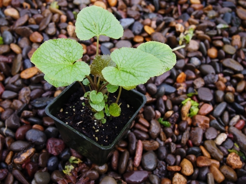 Potted Wasabi Start With 2 Months' Growth