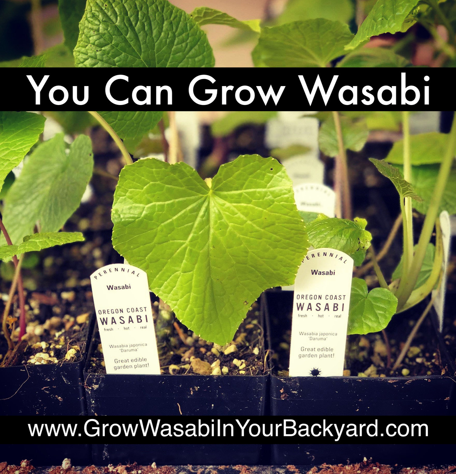 You Can Grow Wasabi In Your Back Yard — The Wasabi Store