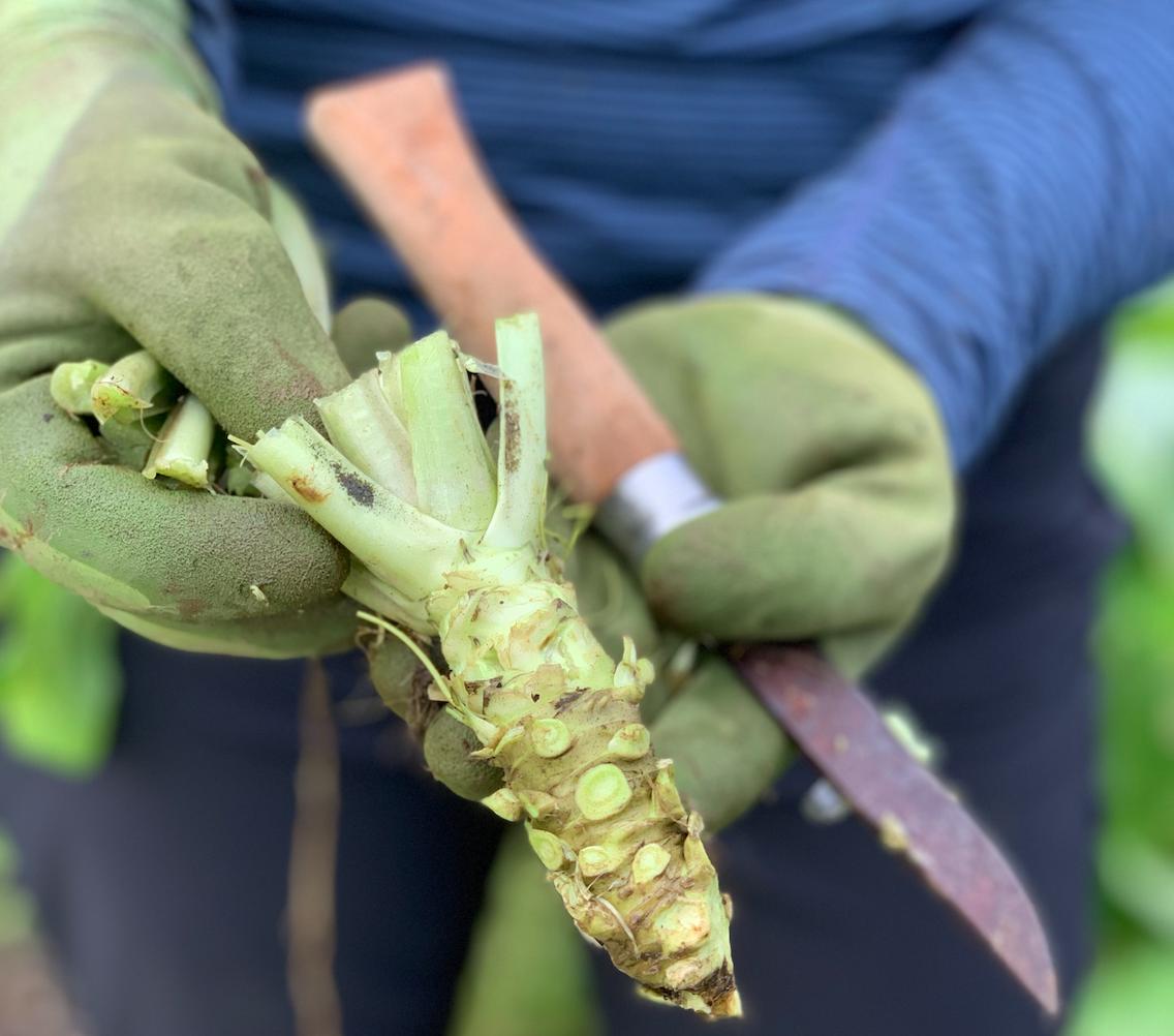 freshly-harvested-wasabi.png