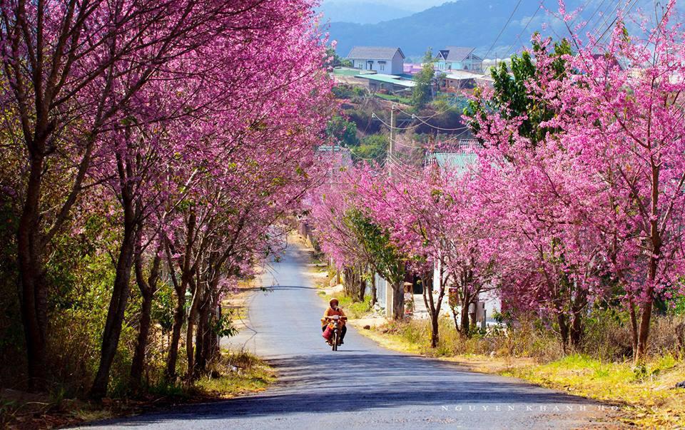 Đà Lạt mùa xuân với Hoa Anh Đào phủ hồng con đường