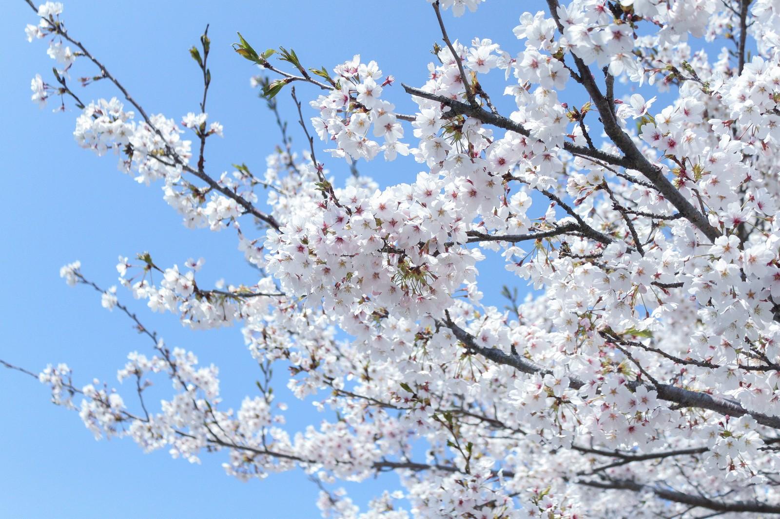 hanami-flower