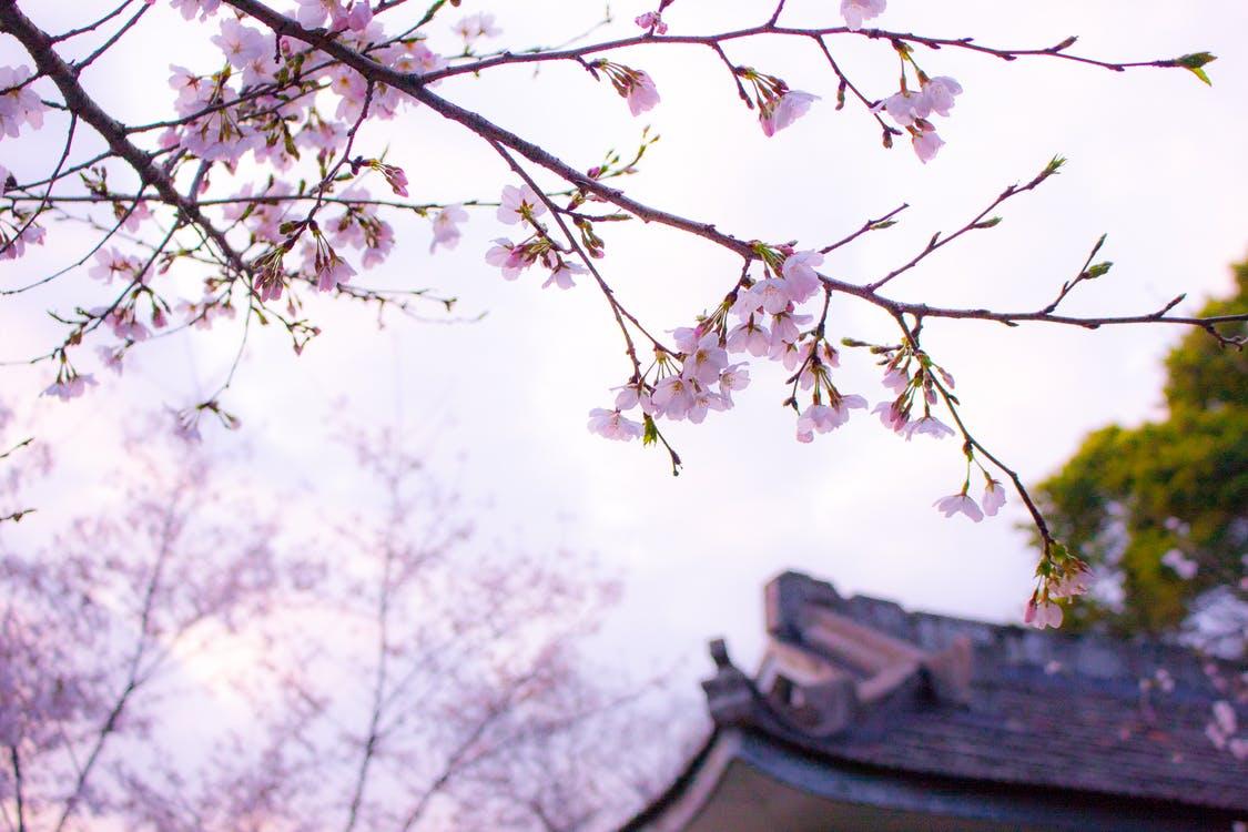 hanami-temple