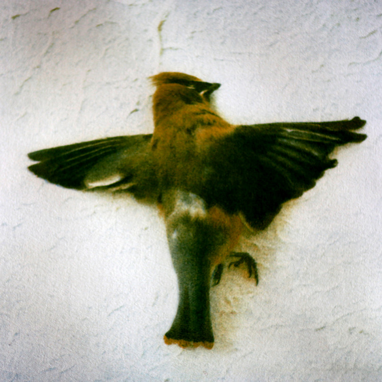 WAXWING II  , from the  Still Lives  series.  Tri-color gum bichromate.  Limited edition 2/10