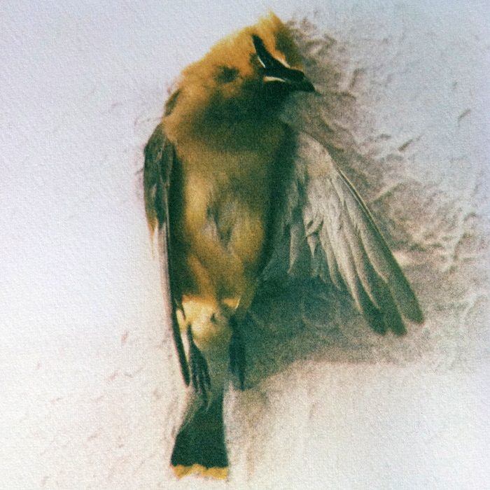 Yellow Waxwing,   from the  Still Lives  series.  Tri-color gum bichromate.  Limited Edition 2/10