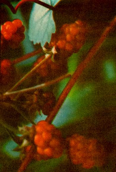 Image & tri-color gum print,by © Michael Oski  2015