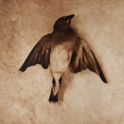 Waxwing , ©Diana H. Bloomfield (polymer photogravure)