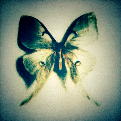 Luna Moth  , from  Still Lives  series.  Tri-color gum bichromate.  1/5 Limited Edition