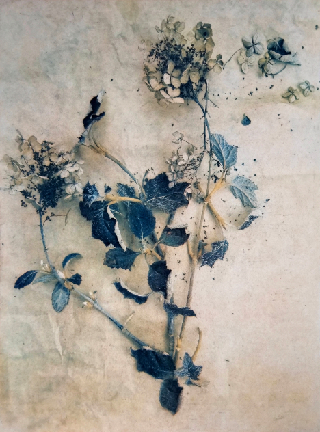 Backyard Hydrangea , from  The Old Garden  series. 2018. Tri-color gum bichromate over cyanotype. Limited Edition 2/10