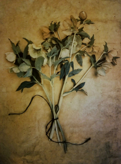 Lenten Roses , from  The Old Garden  series. 2018 Tri-color gum bichromate over cyanotype. Limited Edition