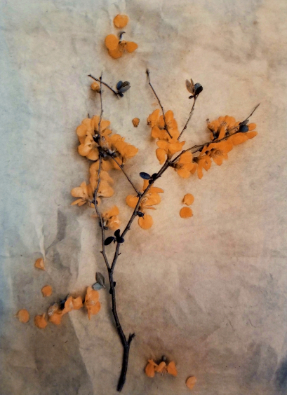 Quince , from  The Old Garden  series. 2018 Tri-color gum bichromate over cyanotype. Limited Edition