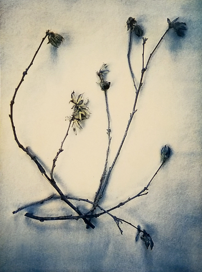 Hibiscus, Winter Husks 2018,  from    The Old Garden  series. Tri-color gum bichromate over cyanotype. Limited edition