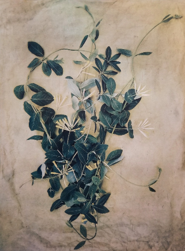 Honeysuckle , from  The Old Garden  series.  Limited Edition.  Tri-color gum over cyanotype.