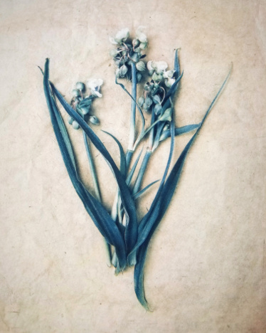 Found Flowers,  from  The Old Garden  series.  Tri-color gum bichromate over cyanotype.  Limited Edition.
