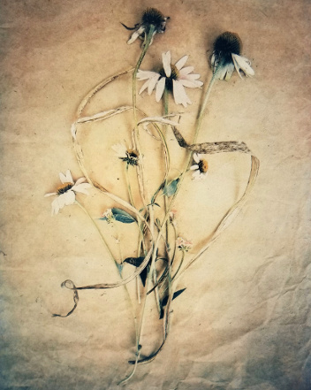 Daisies , from  The Old Garden  series.  Tri-color gum bichromate over cyanotype.  Limited Edition.