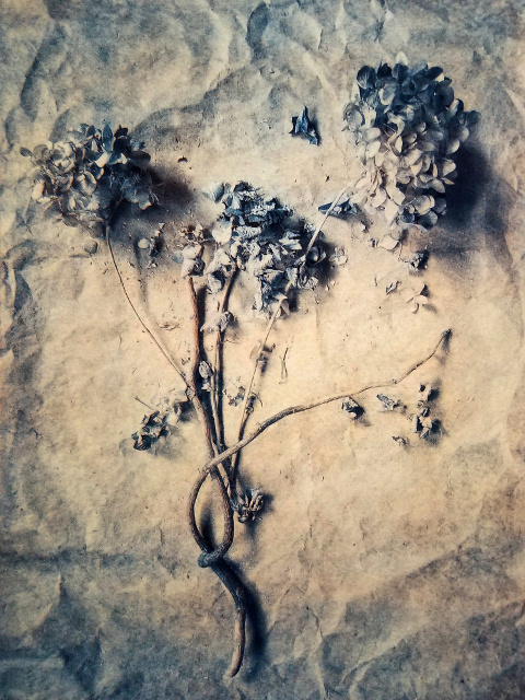 Hydrangea,  from  The Old Garden  series.  2018, Tri-color gum bichromate over cyanotype