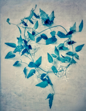 Clematis,  from  The Old Garden  series.  Gum bichromate over cyanotype.  Limited Edition