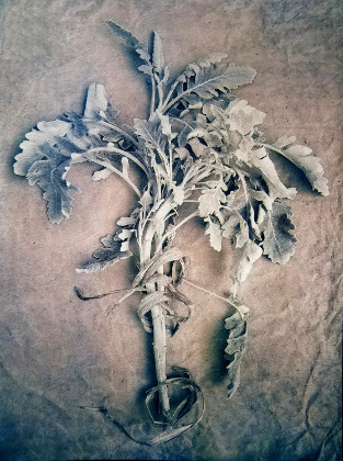 Lambs Ears , 2018, from  The Old Garden  series.  Tricolor gum bichromate over cyanotype.  Limited Edition of 5
