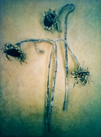 Sunflowers , from  The Old Garden  series.  Tricolor gum bichromate, over cyanotype.  Limited edition of 5