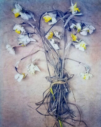 Daffodils,  from  The Old Garden  series. Tricolor gum bichromate over cyanotype. ©DH Bloomfield 2019