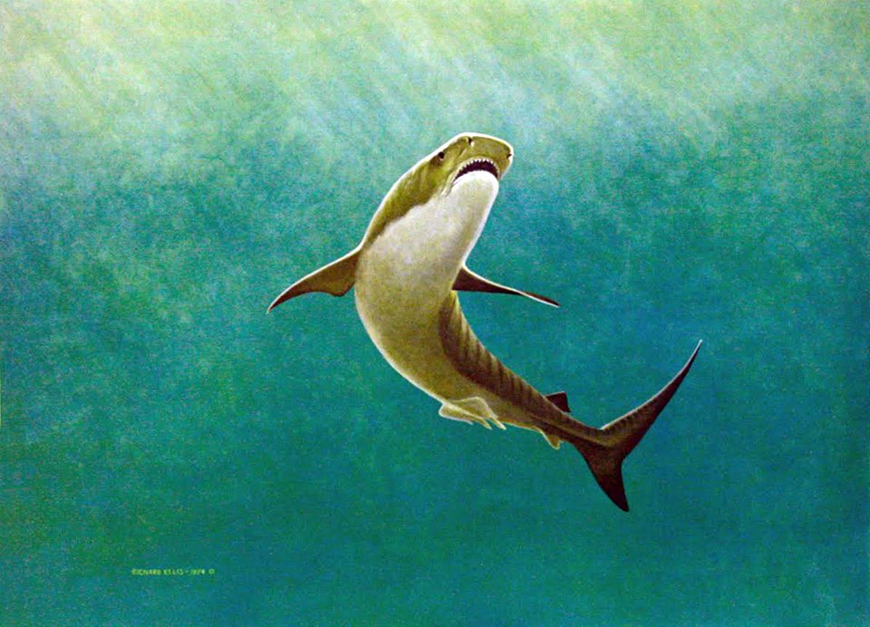 """Tiger Shark"" ©Richard Ellis"
