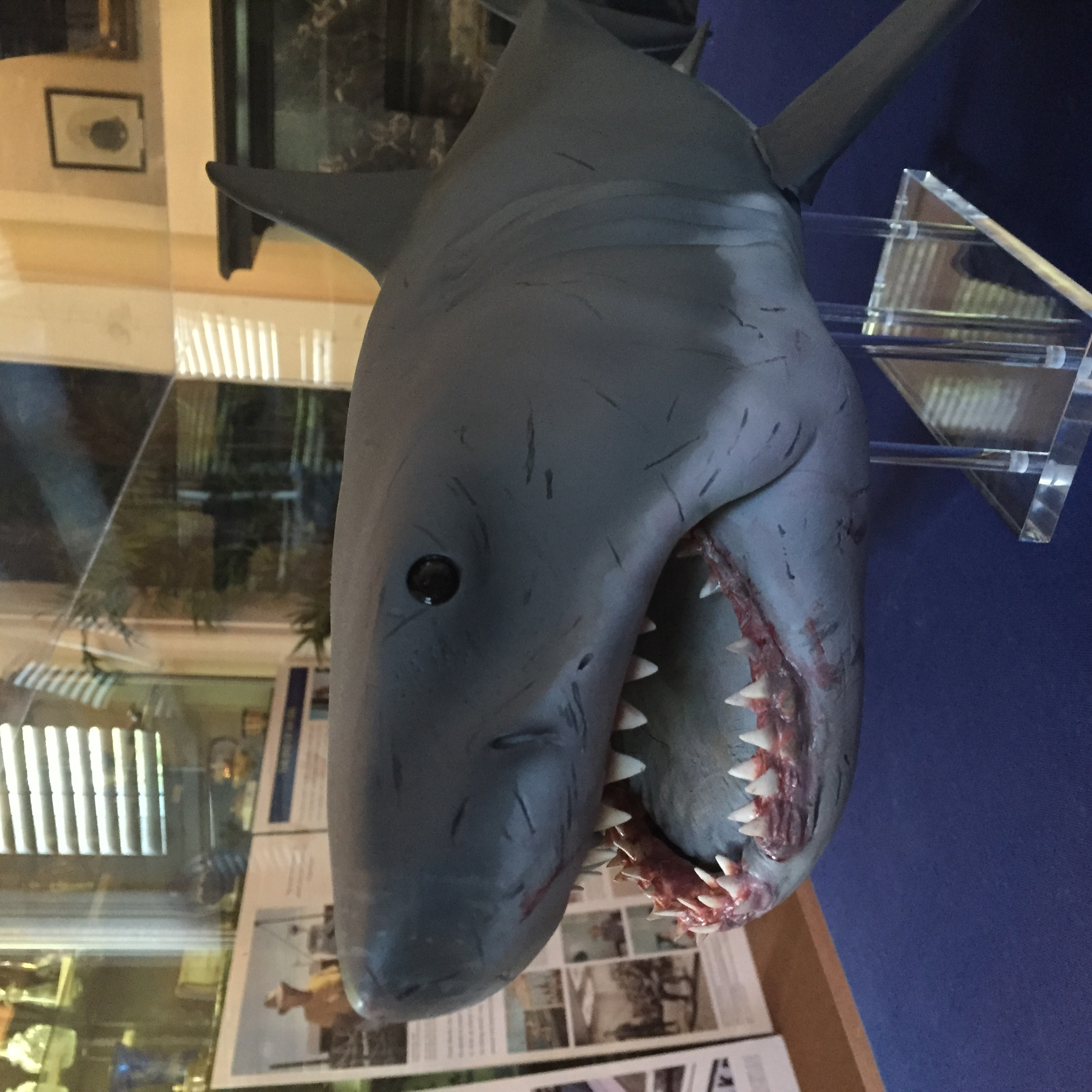 """Scale model of """"Bruce"""" the shark from Steven Spielberg's film, JAWS. On loan from Anthony Pintauro."""