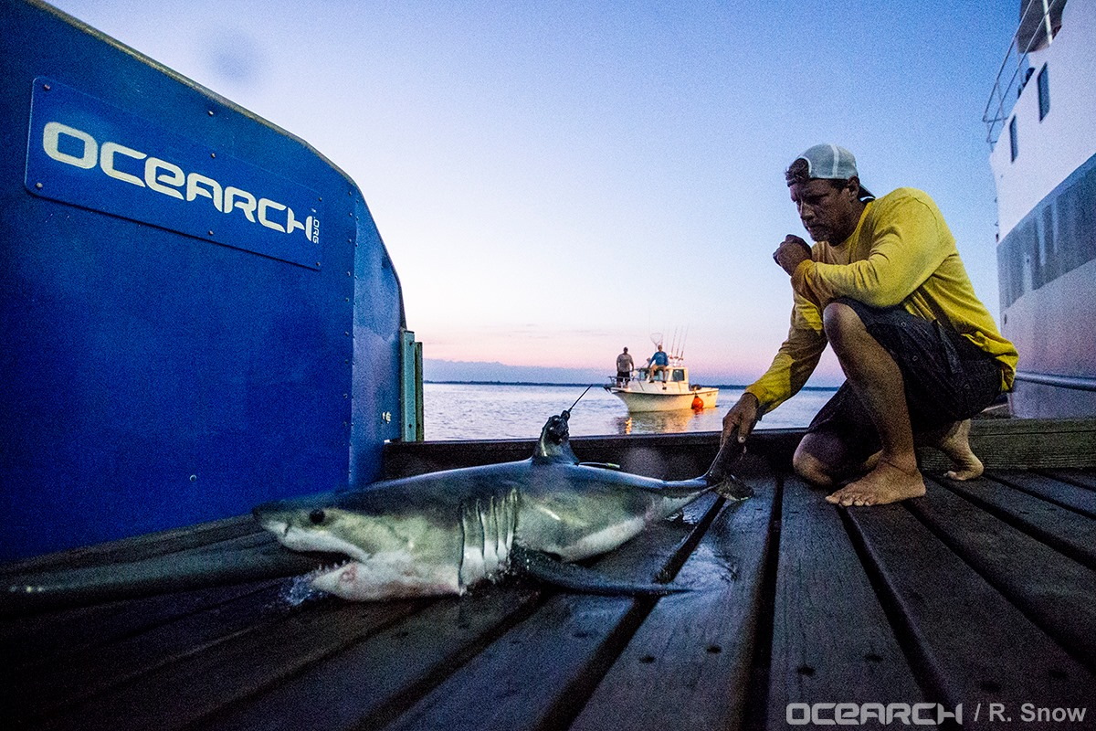 """Montauk,"" the first Great White pup tagged during OCEARCH's recent Expedition NY 2016 off Montauk."