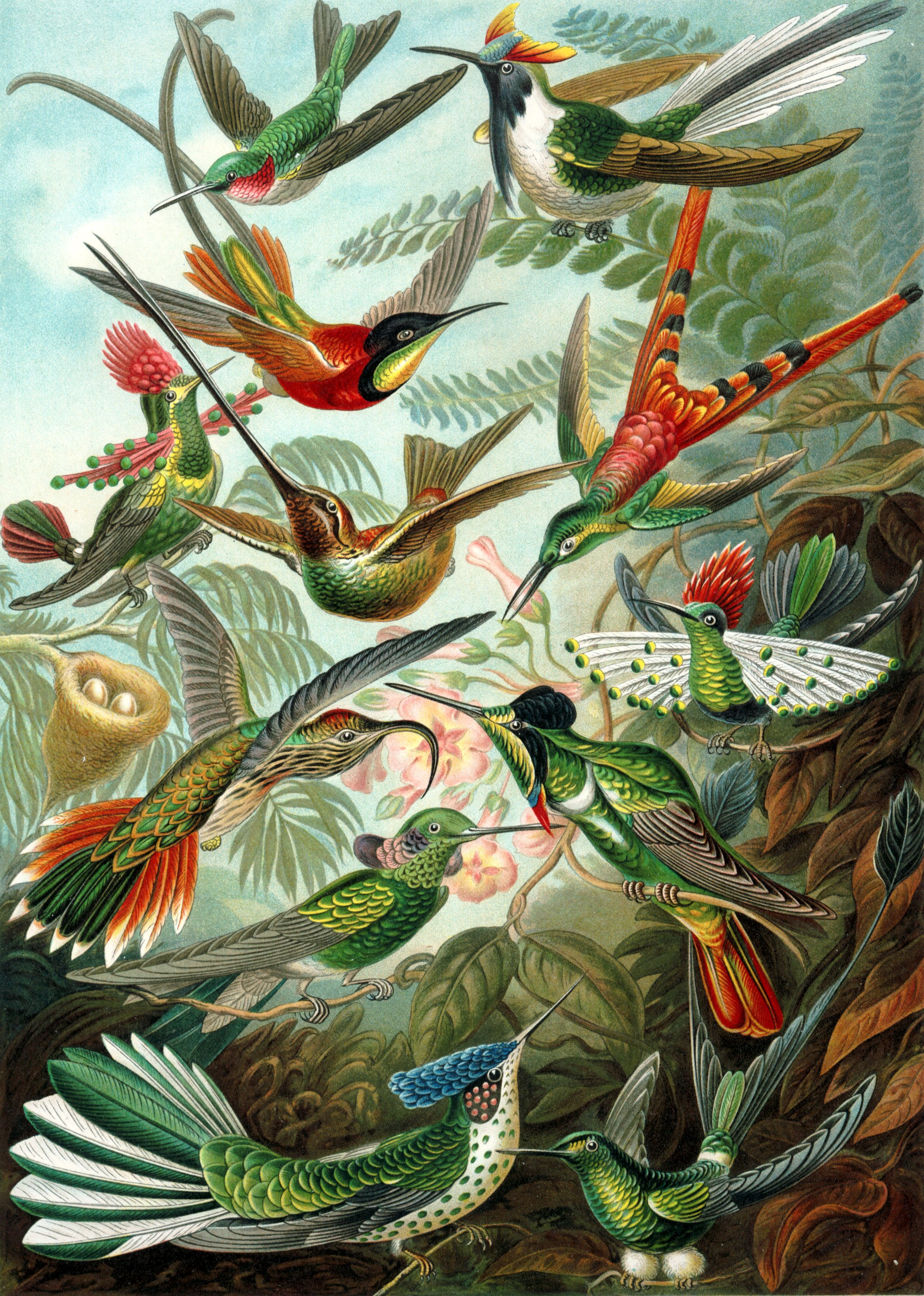 Trochilidae  by Ernst Haeckel (via  Wikimedia Commons )