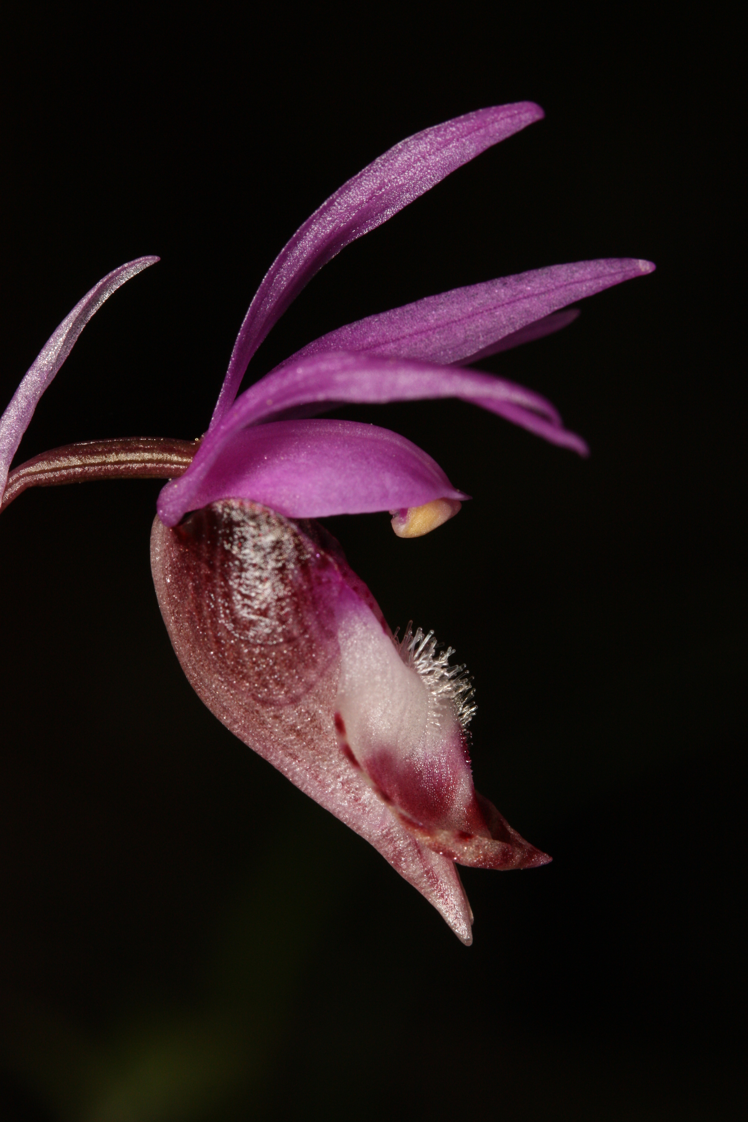 A Calypso orchid (via  Wikimedia Commons )