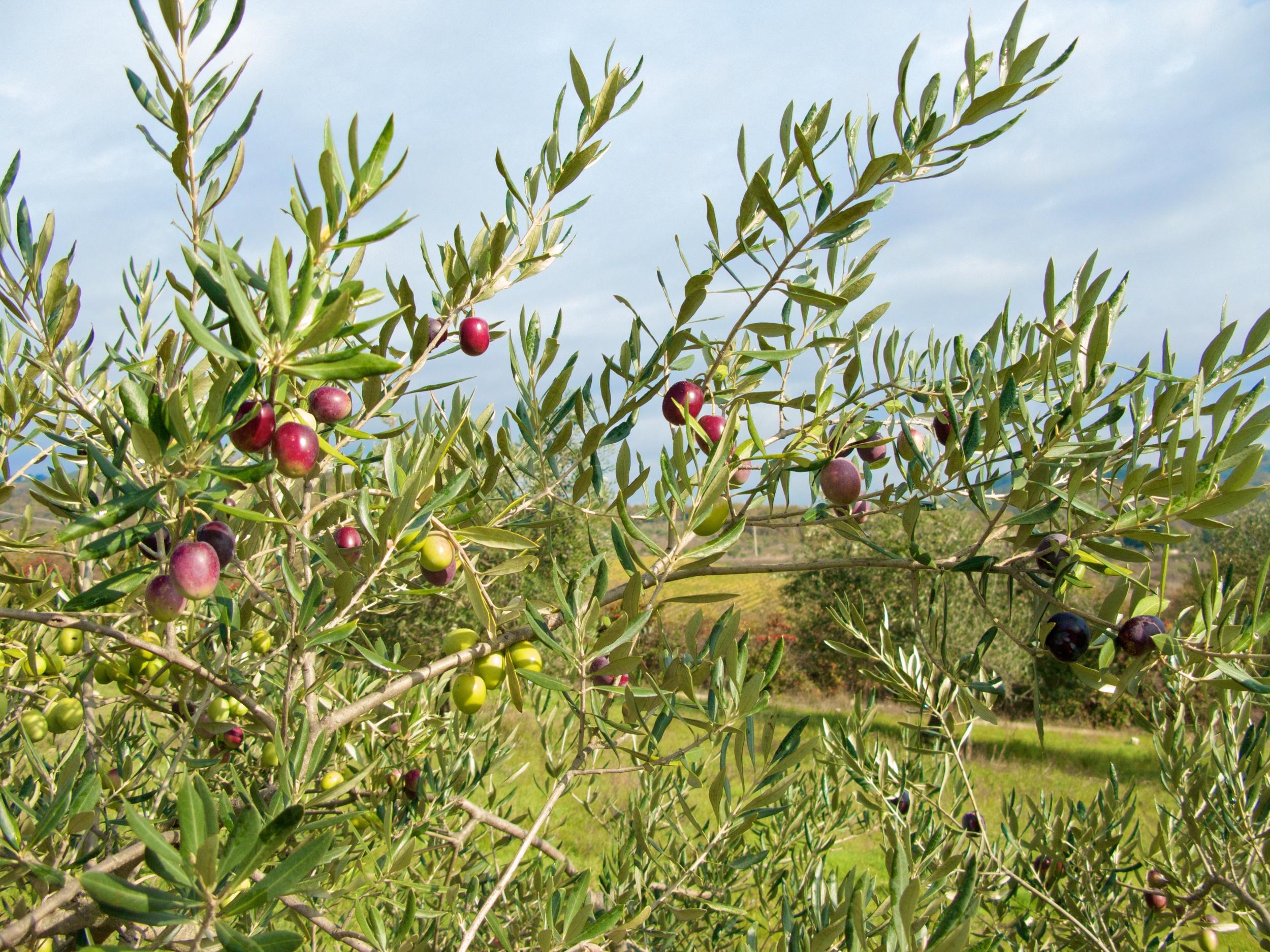 Multicolored Olives.jpg