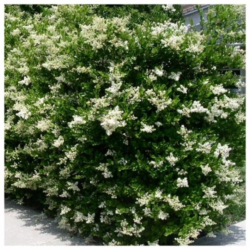 Ligustrum - Full Bloom