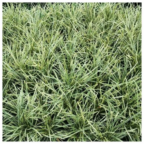 Aztec Grass