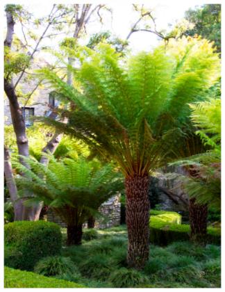 Tasmanian Tree Fern